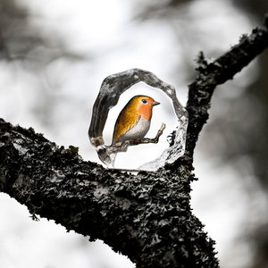 Wildlife Robin