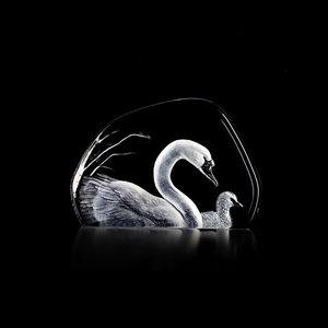 Wildlife Swans